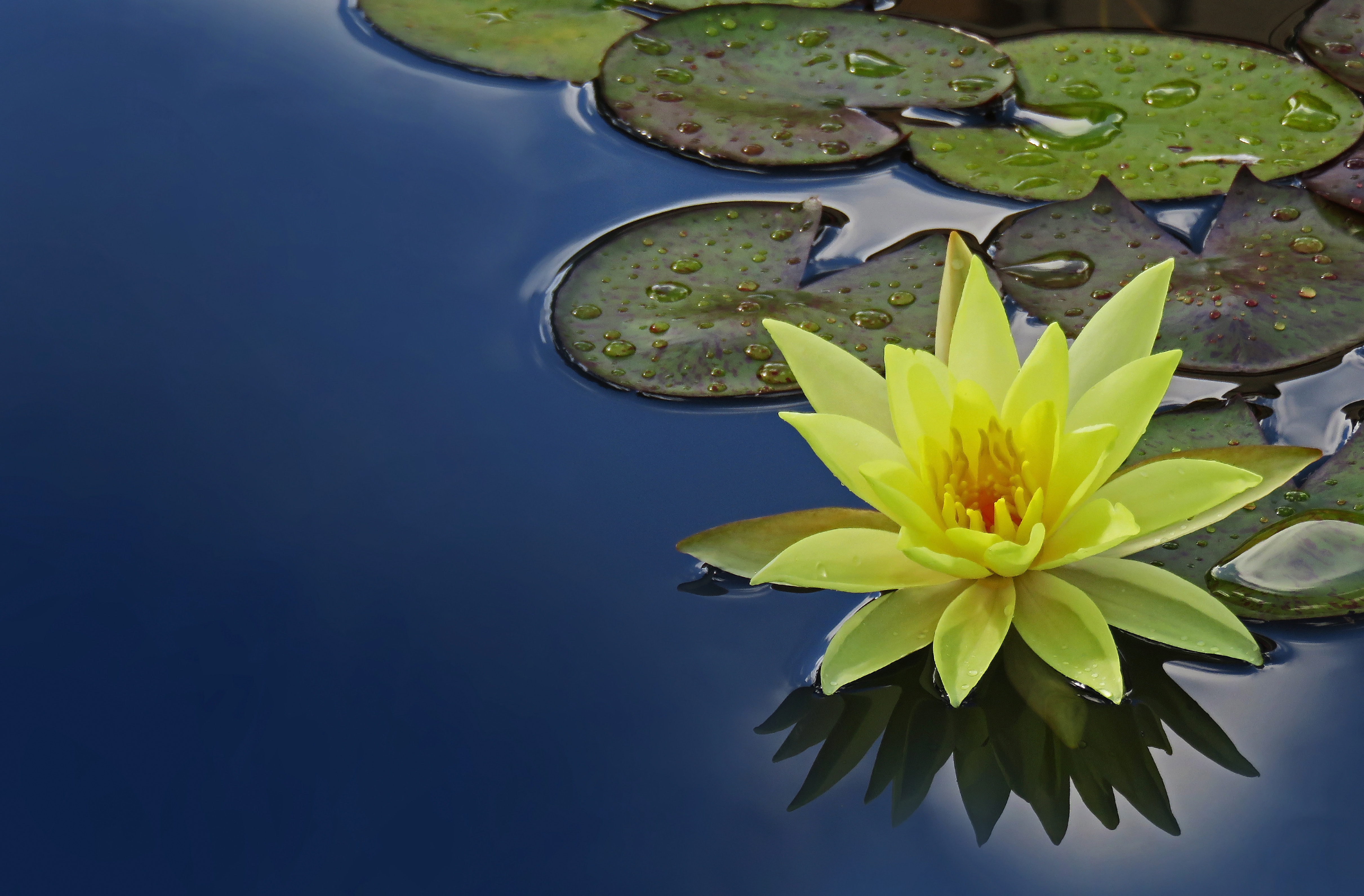 Spa Services - lotus on pool